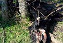 EXTRAÑO ESQUELETO APARECE JUNTO A UN ANIMAL MUTILADO